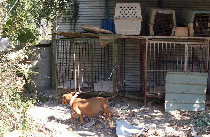 位在國姓偏僻聚落的狗舍,除該懷孕母狗還養有另9隻比特犬。(記者陳鳳麗翻攝)
