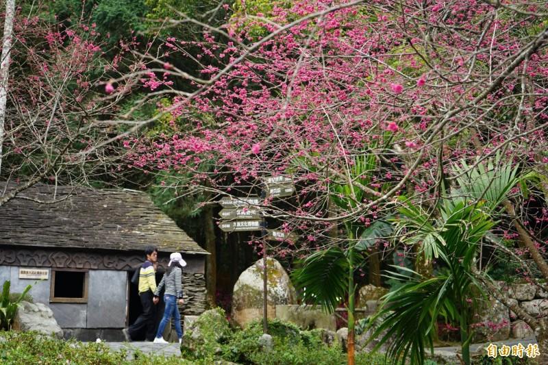 九族文化村櫻花祭,目前園區花況已達五至七成。(記者劉濱銓攝)