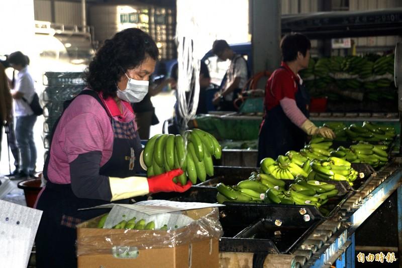 高雄生產的香蕉今年可望大量銷往日本。(記者黃佳琳攝)