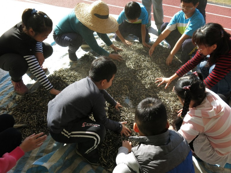 學童採綠豆、曬綠豆準備義賣。(校方提供)