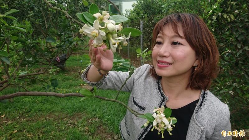 麻豆的柚花今年因暖冬提早盛開,3月,麻豆小鎮充滿柚花香。(記者楊金城攝)