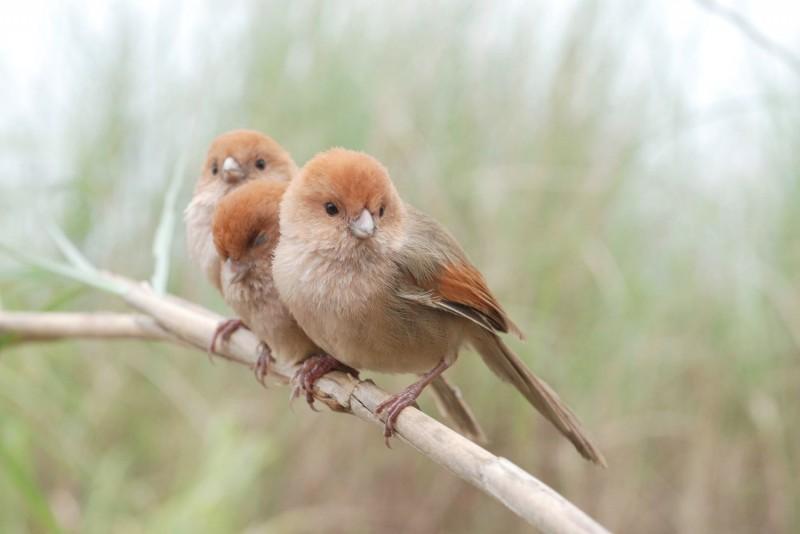 國立台灣師範大學生科學院李壽先教授團隊,分析粉紅鸚嘴鳥類的遺傳突變,發現與不同海拔環境適應相關的遺傳突變,主要是由台灣與大陸族群分家前的祖先承襲而來,而非近期才產生的新突變。這項研究不但有助於了解生物如何適應環境的變化,也對生物保育、甚至外來種入侵的防治提供新的思維,該研究成果近日成功刊登於國際頂尖期刊。(台師大提供)