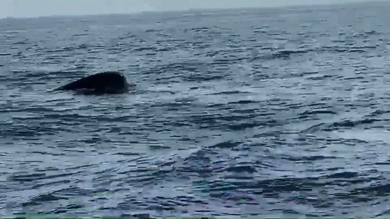 台灣燈會太美了!連鯨魚都出現在大鵬灣外海3次。(圖由飛馬輪陳姓船員提供)