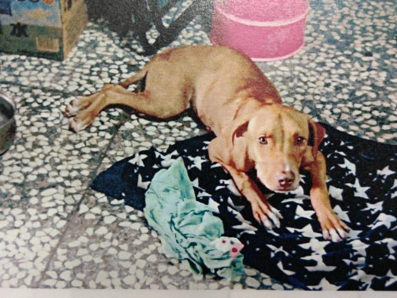 宜蘭縣林姓男子不滿任姓鄰居飼養的比特犬性情兇悍,去年8月11日晚間持自製獵槍朝比特犬射擊,造成比特犬重傷倒地,宜蘭地方法院依違反《動物保護法》,判林男拘役40天,併科罰金20萬元,自製獵槍沒收,被獵槍打中的比特犬,復原期間不復先前凶狠模樣。(記者張議晨翻攝)