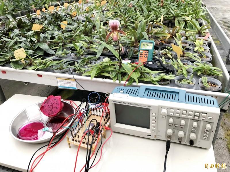 將火龍果染敏太陽能電池運作在溫室蘭花測陽光強度的實驗過程。(記者丁偉杰攝)