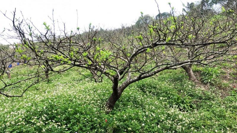 超過250公頃紅肉李不開花損害率逾8成,苗栗縣爭取農委會補助(記者蔡政珉翻攝)