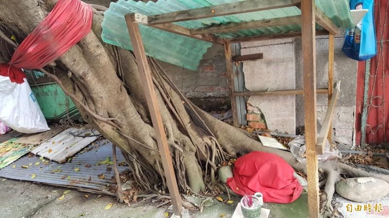文萌樓後面的大榕樹,過去是公娼們聊天訴苦的地方。(記者楊心慧攝)