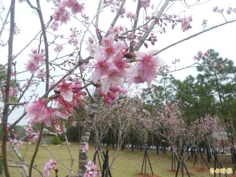 國立金門大學櫻花園盛開,一片淡淡的粉彩躍上枝頭。(記者吳正庭攝)