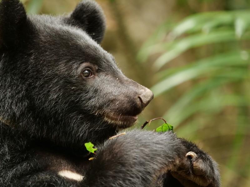 南安小黑熊現在於農委會特有生物保育中心照顧得很健康,學習吃各種野果、練習如何打獵。(花蓮林管處提供、黃美秀攝)