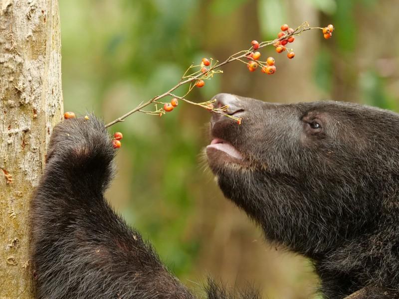 南安小黑熊很愛吃紅色的果實,多元化的食物供應讓小熊獲得均衡的營養。(林務局花蓮林管處提供、黃美秀拍攝 )