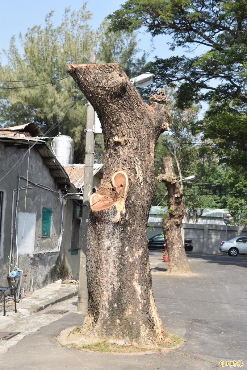 高雄路樹常見斷頭截頂修剪,嚴重危及樹木健康和生長。(記者蘇福男攝)