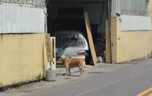 大里立仁一路一位許姓民眾,經常讓狗跑到路上,昨晚還咬傷里長,不過今天狗狗仍然隨意跑到馬路上。(記者陳建志攝)