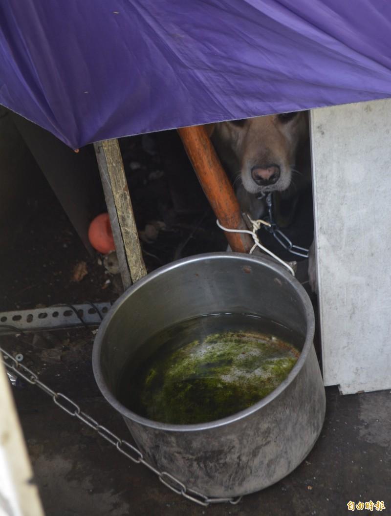 狗狗喝水的盆子長滿青苔,動保處檢查員要求飼主限期改善。(記者陳建志攝)