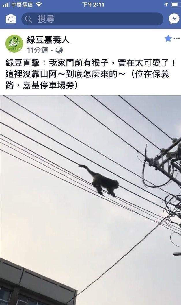 嘉基醫院停車場附近電桿曾有獼猴現蹤。(綠豆嘉義人提供)