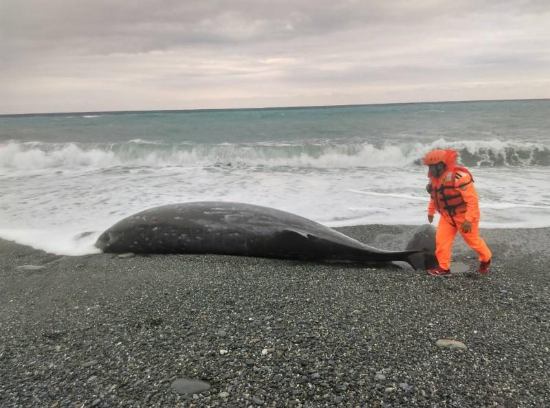 花蓮鯨豚擱淺受傷,海巡急救援。(記者王峻祺翻攝)