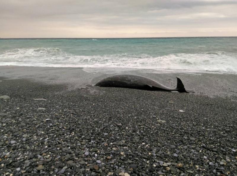 鯨豚發現處位於立霧溪出海口以北,在崇德海域境內,有明顯外傷。(記者王峻祺翻攝)