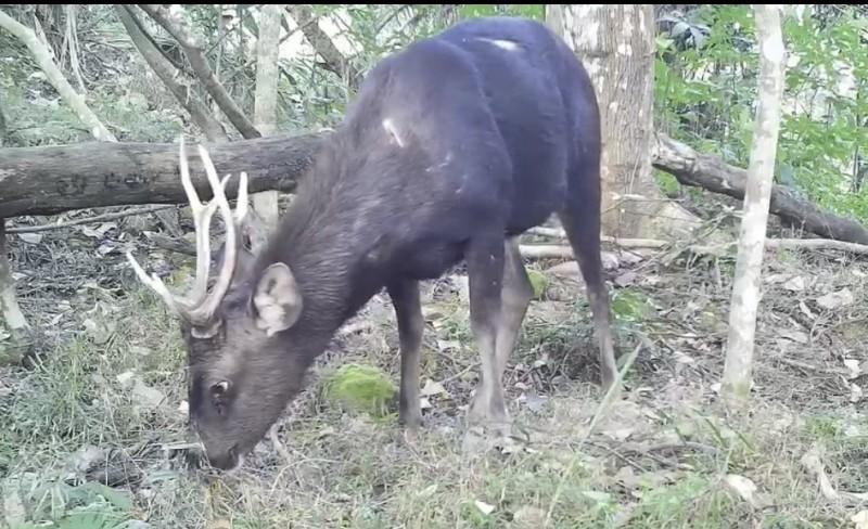 九份二山多年前進行台灣水鹿野放復育,經過自然繁衍,目前估計園區內約有逾400頭野生水鹿。(圖:水保局南投分局提供)