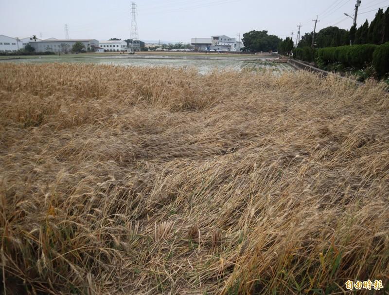 連日陰雨造成大雅區小麥田嚴重倒伏。(記者歐素美攝)