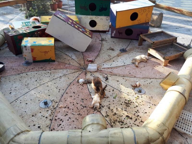 關山鎮農會米國學校養的兔子遭狗咬死。(記者王秀亭翻攝)