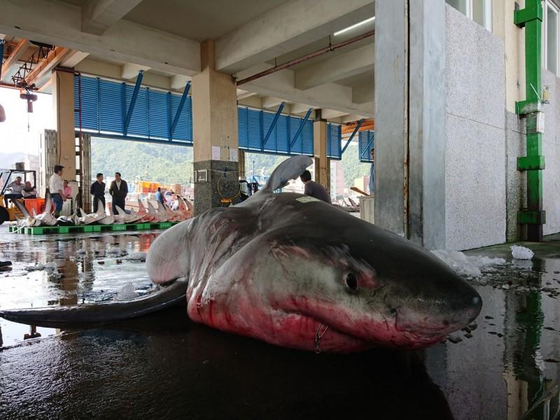 宜蘭漁民在東澳海域捕獲超過4公尺長的大白鯊。(讀者提供)