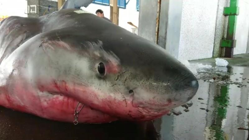 被漁民捕獲的大白鯊。(讀者提供)