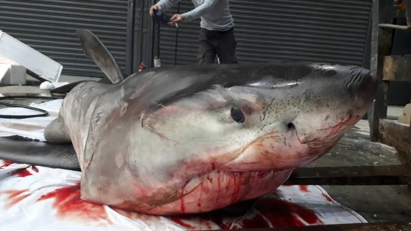 宜蘭驚見大白鯊長4.7公尺,海洋學者鄭明修說,他這輩子見過最大隻。(陳三發提供)