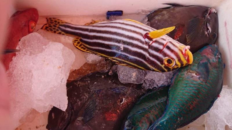 魚身有魚叉魚槍的穿刺孔,海巡便能開罰。(記者蔡宗憲翻攝)