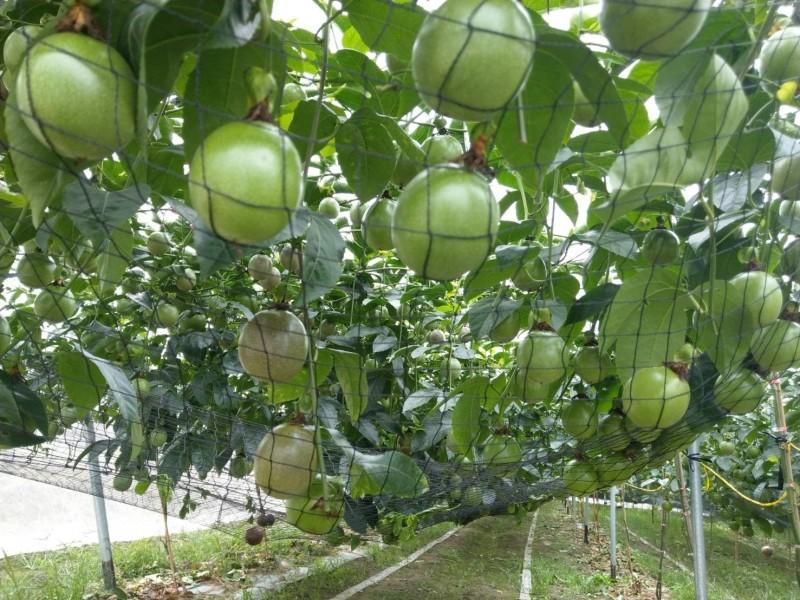 林建良讓百香果自然熟成。(農糧署南區分署提供)