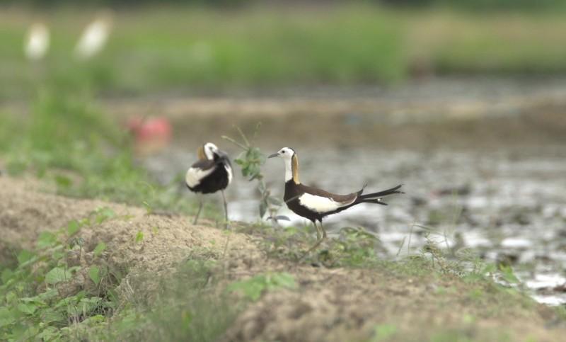 「台南市鳥」棲地農田要種電 官田水雉園區反對