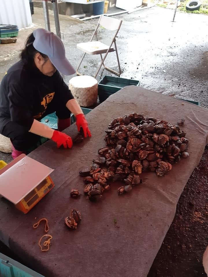 業者將打撈上岸的貢寮鮑一一分類。(新北市鮑魚生產合作社理事主席吳勝福提供)