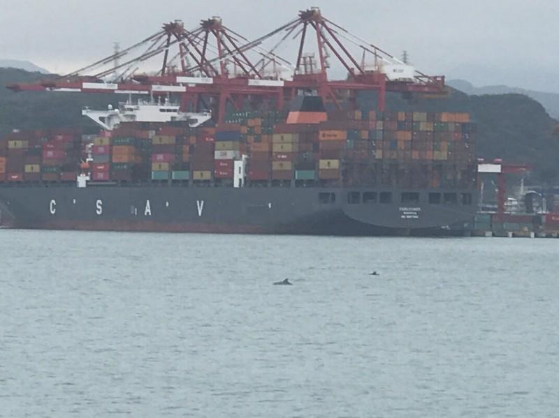基隆港出現一嬌客,一群海豚疑似為了追逐魚群,在港區內四處游動。(記者林欣漢翻攝)