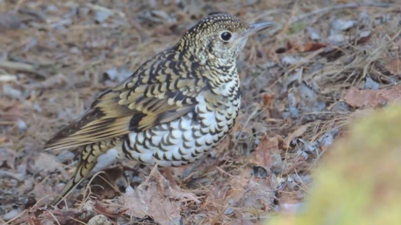玉山塔塔加園區冬候鳥「虎鶇」。(玉管處提供,辜怡釩攝)