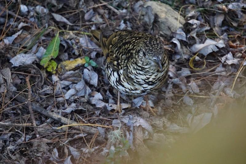 玉山塔塔加園區冬候鳥「虎鶇」,大小如斑鳩,羽色花紋則像虎斑。(玉管處提供,辜怡釩攝)