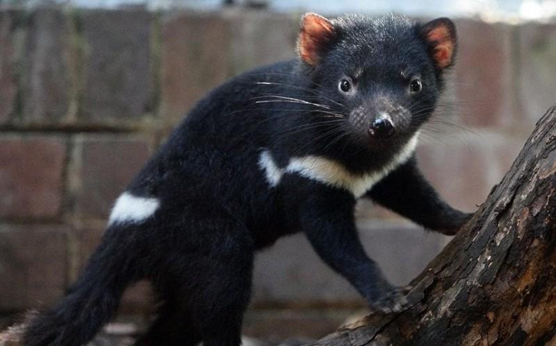 袋獾面部腫瘤病的肆虐,讓袋獾一度瀕臨滅絕之災。(法新社)