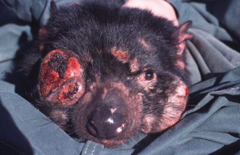 罹患面部腫瘤病的袋獾。(圖片來源:維基百科)