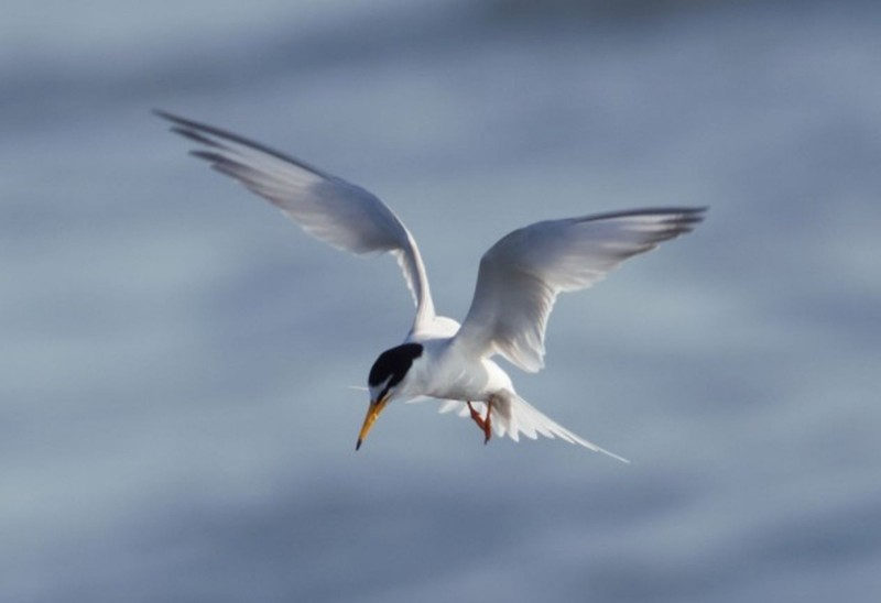 飛翔在花蓮溪出海口上方的小燕鷗。(圖由花蓮林管處提供)