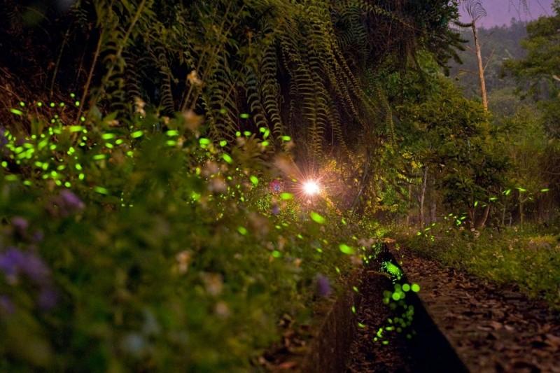 日月潭風景區周邊生態豐富,蘊藏螢火蟲生態與資源,日管處與在地協會合推賞螢,讓遊客體驗生態之旅。(日管處提供)