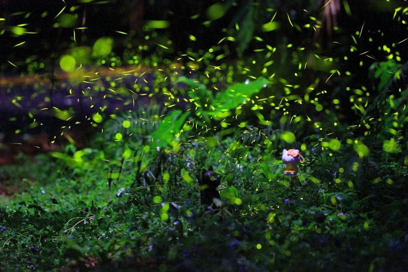 日月潭風景區周邊生態豐富,日管處與在地協會推出5處賞螢秘境,讓遊客體驗螢火蟲生態。(日管處提供)