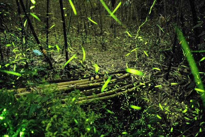 鹿谷小半天正值螢火蟲季,有農園業者在當地茶園與竹林欣賞到美麗的螢火蟲生態。(武岫農圃提供)