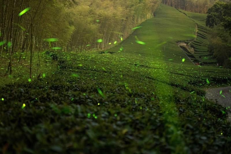 鹿谷小半天正值螢火蟲季,特別是茶園竟能欣賞到螢火蟲,讓民眾相當驚喜。(武岫農圃提供)