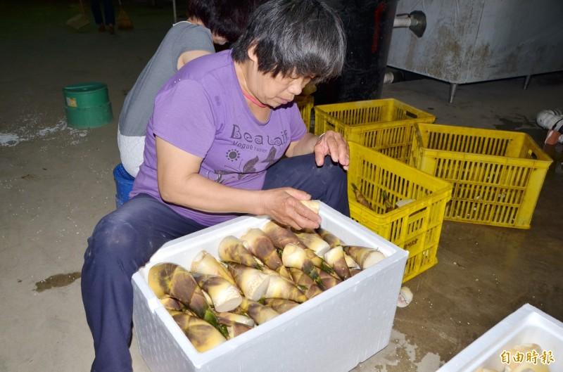 龍崎綠竹筍共同運銷,嚴格分級。(記者吳俊鋒攝)