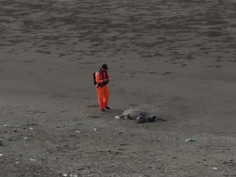 海巡人員到場,發現大海龜已明顯死亡。(翻攝自臉書社團「竹南大小事」)