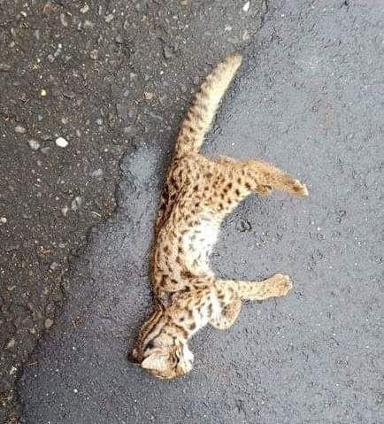 南投集集鎮在今年一月傳出石虎路倒,惟死亡原因並非路殺撞死,而是被犬隻咬死。(資料照,取自「守護石虎」臉書)
