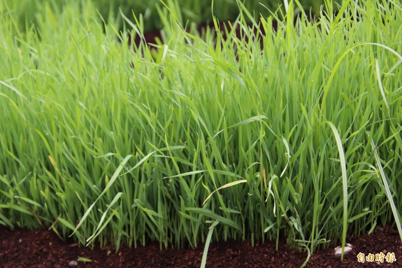 小麥草。(記者黃美珠攝)