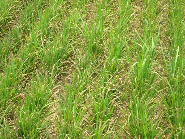 水稻葉稻熱病來襲,農友注意。(記者蔡政珉翻攝)