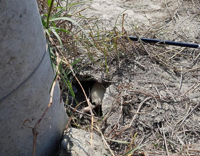 台灣動物緊急救援小組發現電桿下有1隻幼犬受困。 (台灣動物緊急救援小組提供)