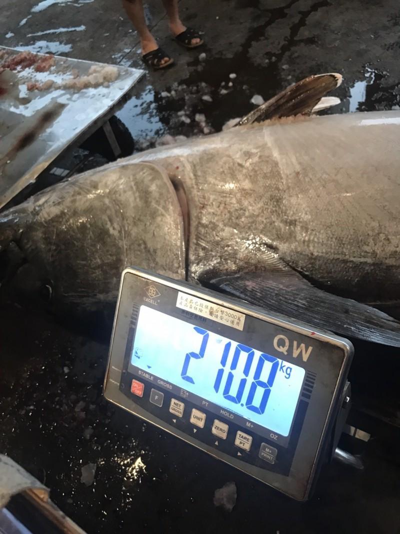 過磅後,重量是210.8公斤。(記者江志雄翻攝)