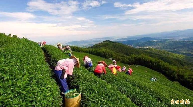 南投縣茶農忙著採茶情形。(資料照,記者謝介裕攝)