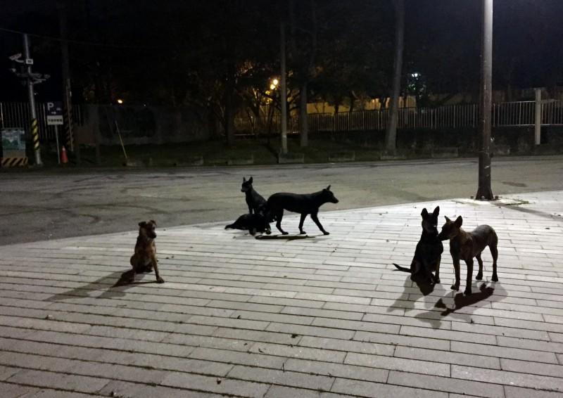 台中市清水區出現成群野狗。(清水區下湳里里長李王玉蘭提供)
