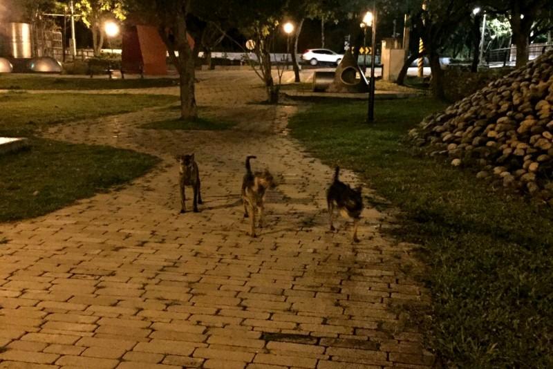 野狗夜間出現在清水區公園。(清水區下湳里里長李王玉蘭提供)